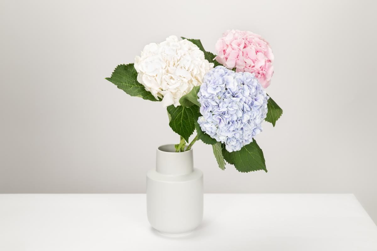 Three hydranga flowers in a vase